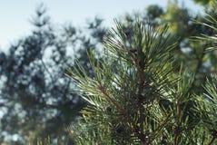 Kiefer Treetop (Luft) 2778 Stockfotos