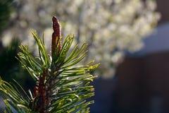 Kiefer Treetop (Luft) 2778 Stockfotografie