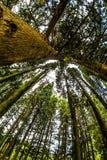 Kiefer Treetops oben betrachten Lizenzfreies Stockbild
