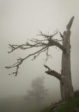 Kiefer und Nebel Stockfoto
