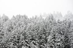 Kiefer und Schnee Stockbilder