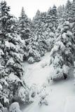 Kiefer und Schnee Lizenzfreie Stockfotos