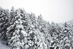 Kiefer und Schnee Stockbild
