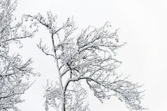 Kiefer und Schnee Lizenzfreie Stockbilder