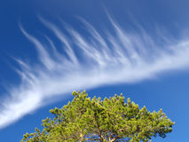 Kiefer und weiße Wolke auf blauem Himmel Stockfotos