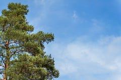 Kiefer und wolkenloser blauer Himmel Klarer Himmel des Sommers Zweige der Kiefer Lizenzfreies Stockbild