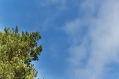 Kiefer und wolkenloser blauer Himmel Klarer Himmel des Sommers Zweige der Kiefer Lizenzfreie Stockfotos