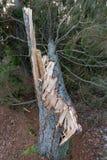 Kiefer unten durchgebrannt mit offenem Holz lizenzfreies stockfoto