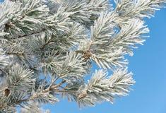 Kiefer unter Schnee Lizenzfreie Stockfotografie