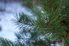 Kiefer verzweigt sich in den Winter die eisige Luft Stockfoto