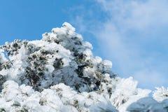 Kiefer verzweigt sich gefroren im Eis Stockbild