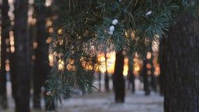 Kiefer verzweigt sich in Strahlen der Wintersonne, Winterwald, Abschluss oben, Schnee bedeckter Wald an den Sonnenuntergangschnee stock footage