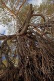 Kiefer von den Wurzeln zur Krone Stockbild