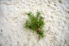 Kiefer wächst im Sand Lizenzfreie Stockfotos