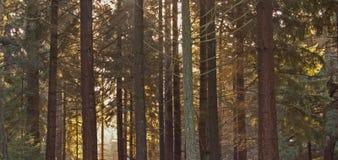 Kiefer-Wald Lizenzfreies Stockfoto