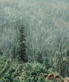Kiefer-Wald am Sommer Stockbild