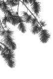 Kiefer-Zweig mit Schnee Lizenzfreie Stockfotos
