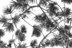 Kiefer-Zweig mit Schnee Lizenzfreies Stockfoto