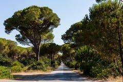 Kieferallee in der toskanischen Region Maremma in Italien Stockbilder