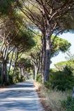 Kieferallee in der toskanischen Region Maremma in Italien Lizenzfreies Stockfoto