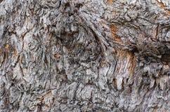 Kieferbeschaffenheit, Baum knackte, alte Baumhaut Lizenzfreies Stockfoto