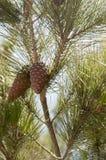 Kieferkegel auf Baum stockfotos
