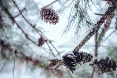 Kieferkegel im Schnee Stockbild