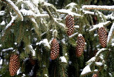 Kieferkegel im Schnee Stockfotos