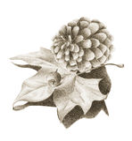 Kieferkegel mit getrocknetem Ahornblatt Stockbild