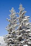 Kiefern abgedeckt mit Schnee Stockfoto
