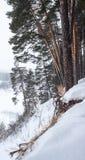 Kiefern auf der Flussbank während Schneefälle Stockfoto