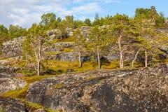 Kiefern auf Felsen in Norwegen Stockfotografie