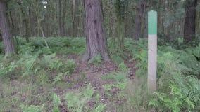 Kiefern im Cannock-Verfolgungswald, Großbritannien stock video