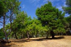 Kiefern im Park von Medulin lizenzfreie stockbilder
