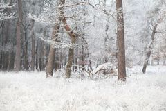 Kiefern im Wald im Frost während des Falles Stockbild