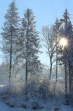 Kiefern im Winter Stockbilder
