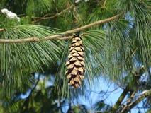 Kiefern-Kegel-Baum und der Winterschnee Lizenzfreie Stockfotos