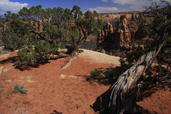 Kiefern am Kolorado-nationalen Denkmal Stockfotos