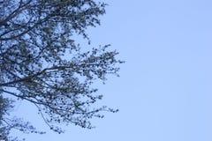 Kiefern-Schattenbild Stockbilder