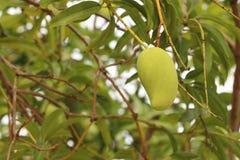 Kiefern sind langlebiger Baum, Kiefer eingeschaltet sind immergrün, Kiefer Stockfotografie