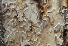 Kiefern textuure stockfotos