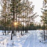 Kiefern und Birken im Winterwald werden durch die untergehende Sonne beleuchtet stockbild