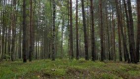 Kiefern- und Birkenwald an einem warmen Sommertag stock footage