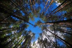 Kiefern unter dem blauen Himmel Lizenzfreie Stockfotografie