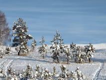 Kiefern unter Schnee Lizenzfreie Stockfotografie