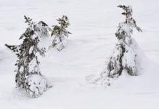 Kiefern unter Schnee Stockbilder