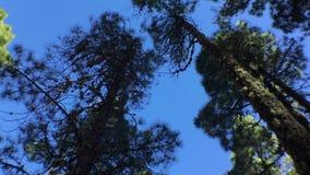 Kiefern von unterhalb zum Himmel stock video