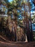 Kiefern-Wald in Cercedilla Lizenzfreie Stockbilder