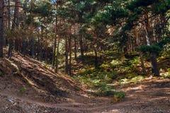 Kiefern-Wald in Cercedilla Stockfotografie