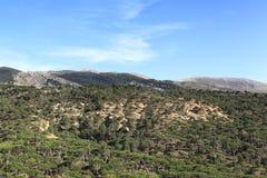 Kiefern-Wald, der Libanon Stockfotografie